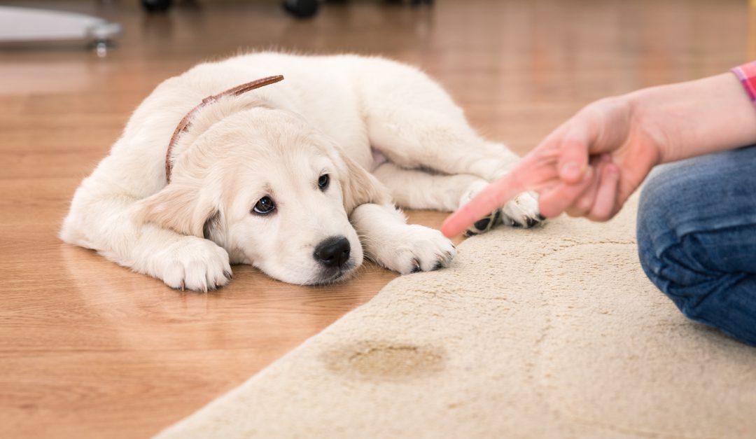 Limpiar manchas de pipi de perro de la alfombra