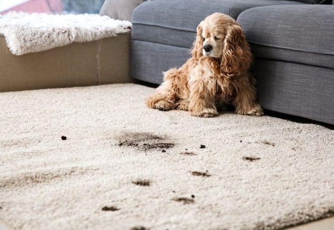 Quita las manchas de lodo de la alfombra